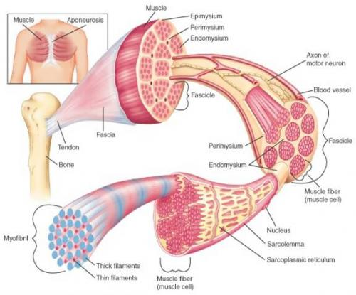 how-skeletal-muscles-function