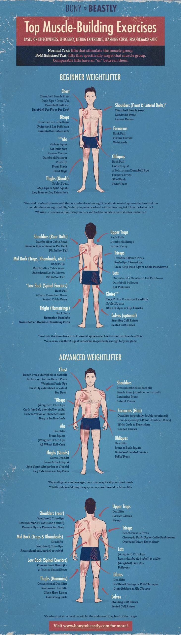 muscle building exercises infographic