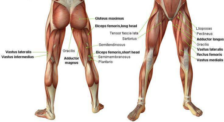 leg-muscles-anatomy