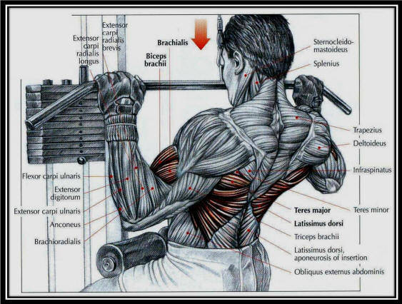 lat machine pulldowns muscles worked