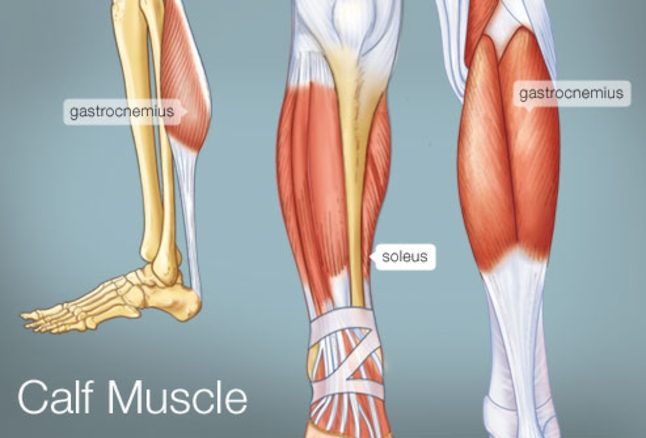calf muscles anatomy