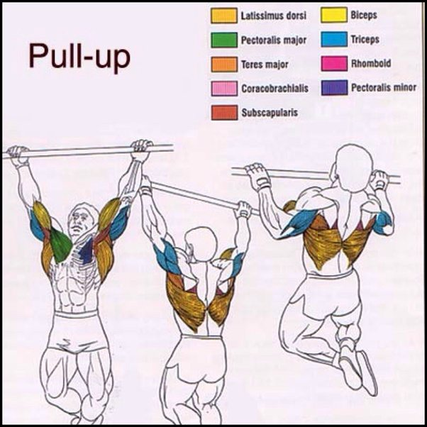 major pull up muscles worked
