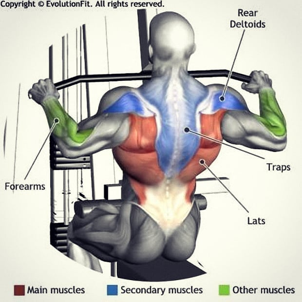 lateral pulldown muscle groups