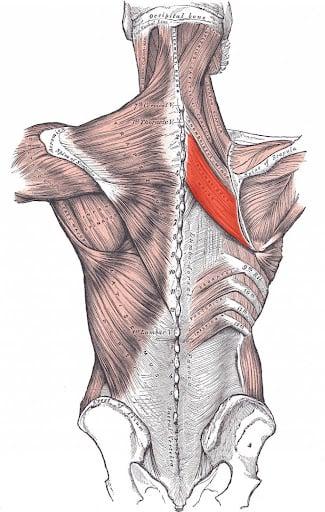 shoulder blades